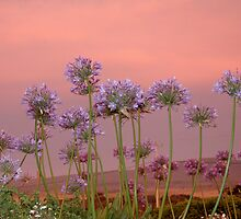 Sunset Agapanthus by Susie Raine