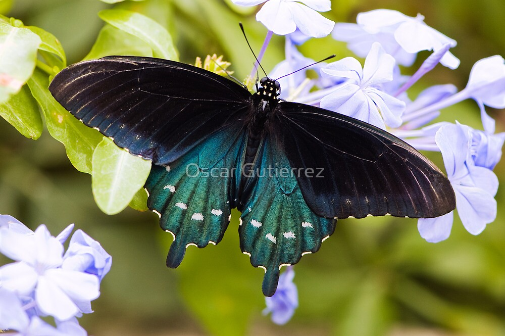 Pipevine, Swallowtail Butterfly by Oscar Gutierrez
