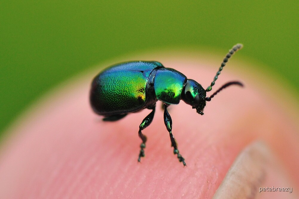 Weevil? by petebreezy