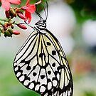 White Butterfly by Oscar Gutierrez