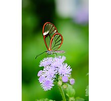 Clear Wing Butterfly   Photographic Print