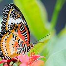 Maylay Lacewing Butterfly by Oscar Gutierrez