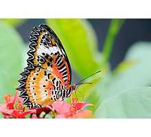 Maylay Lacewing Butterfly Photographic Print
