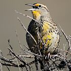Western Meadowlark by Rob Lavoie