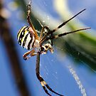Southern Cross Spider by baddoggy