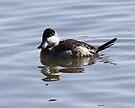 Ruddy Duck by Dennis Cheeseman
