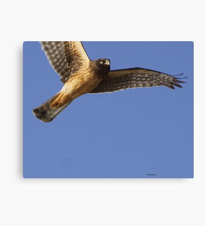 Northern Harrier Canvas Print