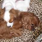 Sleeping King Charles Cavalier Puppies by fionahoratio