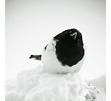 Whodat?---Magpie In Snow Photographic Print