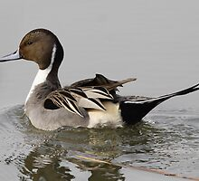 Northern Pintail by Dennis Cheeseman