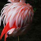 Flamingo by MacsfieldImages