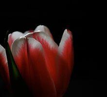 Christmas tulip  by Jeff Stroud
