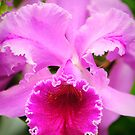 PInk Cattleya Orchid by Oscar Gutierrez