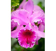 PInk Cattleya Orchid Photographic Print