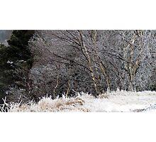 Iced Birches - Ice Storm 12.31.10 Photographic Print