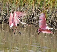 A couple of Roseate Spoonbills by imagetj