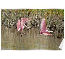 A couple of Roseate Spoonbills Poster