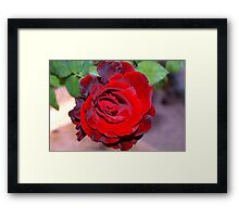 Climbing red rose Framed Print