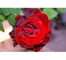 Climbing red rose Photographic Print