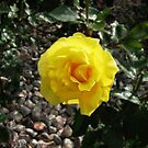 Sunlit Yellow Rose by MidnightMelody