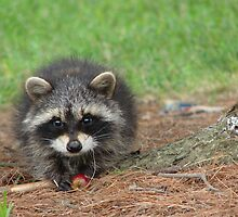 Raccoon by Sam Warner
