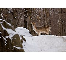Fallow Deer Photographic Print