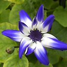 Senetti Surprise - Out of Season Cineraria by MidnightMelody