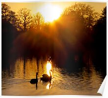 On a golden lake - swan silhouettes Poster