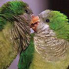 Budgies kissing by MacsfieldImages