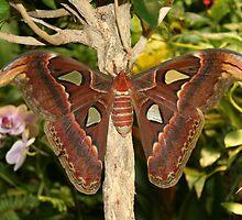 """""""Snake's Head Moth"""" by Henry L. Sampson"""