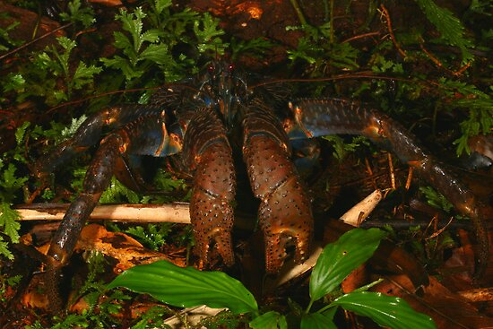 Coconut Crab by naturalnomad