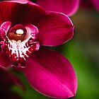 Red Cymbidium Orchid by Oscar Gutierrez