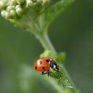 Ladybird, ladybird.... by Heather Thorsen