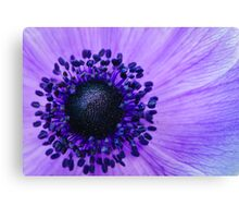 Purple Anemone Poppy Canvas Print