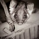 """Shyla"" Ringtail Possum by Amber  Williams"