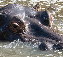 Hippo  by Michael  Moss