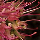 Grevillea by Alicia  Liliana