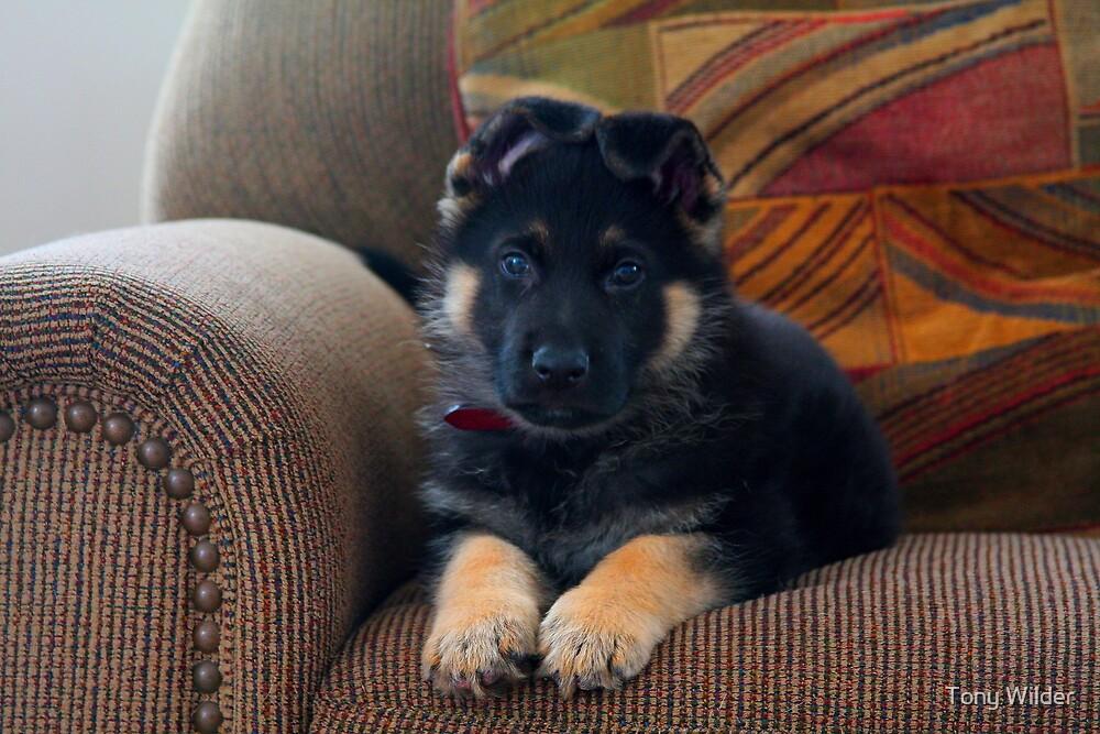 Kaiser - Puppy by Tony Wilder