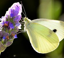 Snow butterfly by Phrancis Whiteley