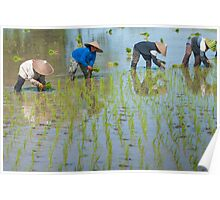 Paddy Field 1 Poster