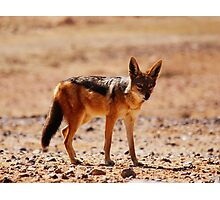 Black-back Jackal... Photographic Print