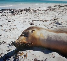 Sunkissed Seal (Wedge Island) by Thea.T Photography