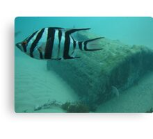 Old Wife Fish with Old Barrell Canvas Print
