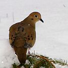 Beautiful Winter Mourning Dove by Robert Miesner