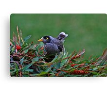 Looking good-Australian Grey Myna  Canvas Print