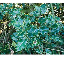Winter Holly Photographic Print