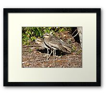 Bush Thick-knees Framed Print