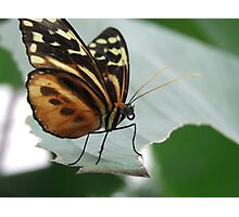 butter fly on leaf Photographic Print