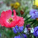 gentle poppy by adam63745