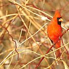 Northern Cardinal by grrizzly